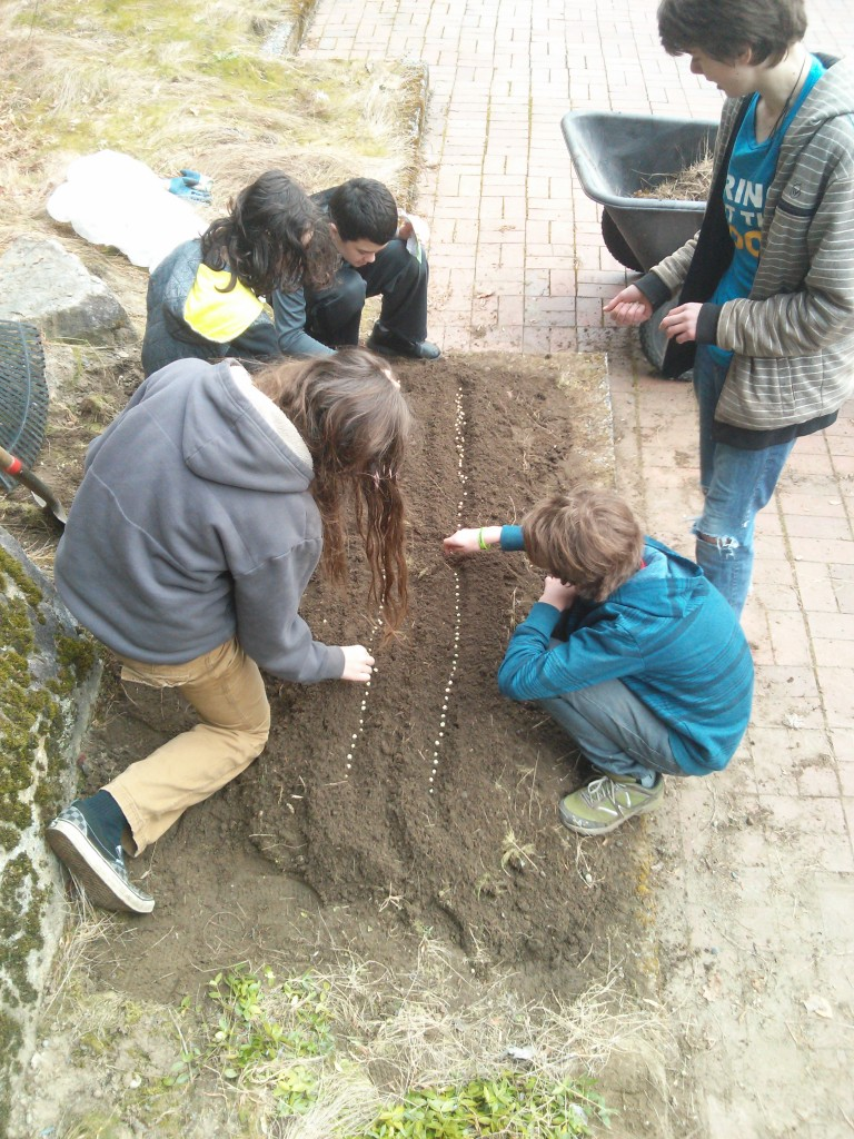 Planting the pea seeds